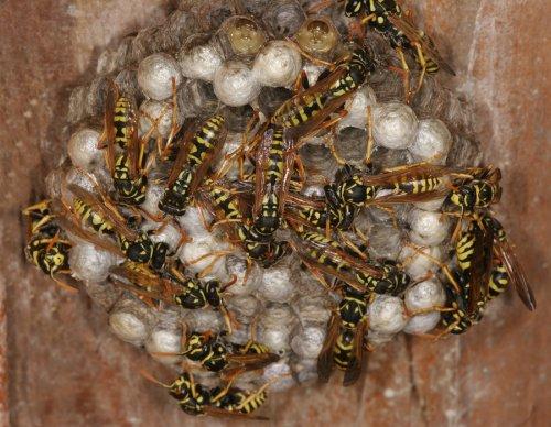 wasp - nest
